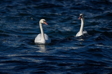 Couple Mute swan swim together in a lake