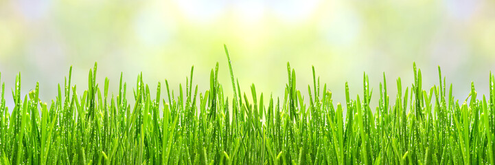 Fototapete - fresh spring green grass with drops of dew, border design panoramic banner