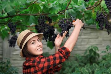 woman gardener picking grape Fototapete
