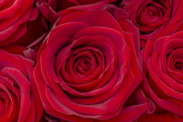 Closeup of a fresh red rose. Big bunch of red roses. Rose flower pattern.