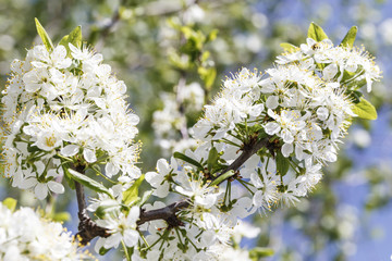 Spring flowers series: Close-up of a Cherry Plum tree.