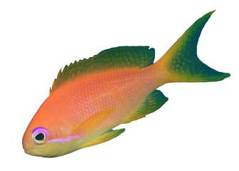 Goldfish (Lyretail Anthia or Fairy Basslet) fish isolated on white background