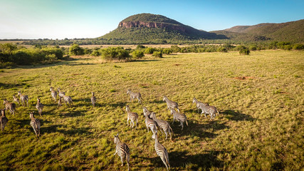 Zebras running on the African plains