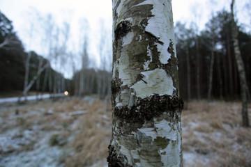winter - birch tree trunk detail in a snowy forest