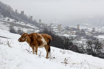 Winter landscape with cows in Svaneti, Georgia