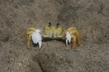 Ocypode quadrata (crabe jaune)