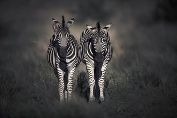 Zebra roaming the African savannah