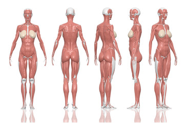 Human anatomy female muscles. 3D illustration and paths di cut inside.