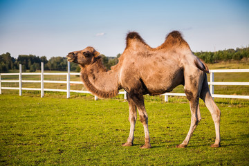 camel on a field