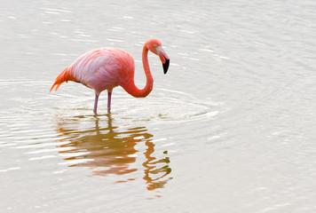 Caribbean flamingo, Phoenicopterus ruber, Galapagos.
