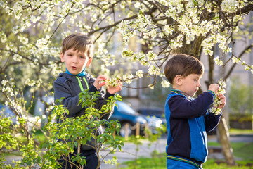 Two cute children, boy brothers, walking in a spring cherry blossom garden, holding flowers and book