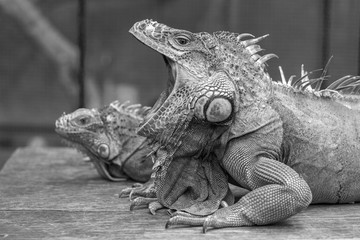 Yawning Iguana picture in Black and White