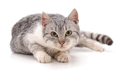 Gray beautiful cat.