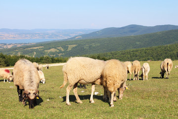 Sheep eating grass on the mountain