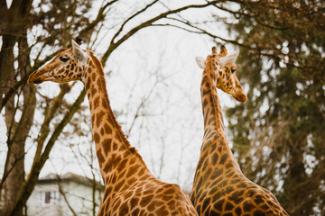two adult giraffe looking in different directions close-up in the cold season in cloudy weather