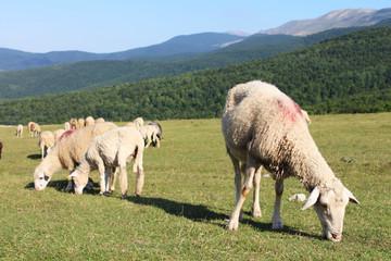 Sheep eating grass on mountain