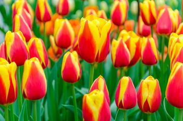 Blooming red-yellow tulips in Keukenhof garden in Netherlands, Europe.