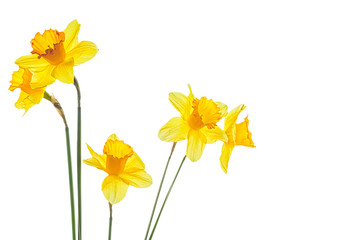 Five yellow narcissus flower on a white background