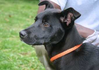 LARGE BLACK MIXED BREED DOG