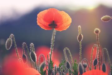 Poppy flower on a field in summer
