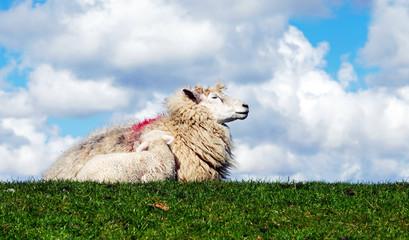 Schaf mit Lamm auf einem Deich in Norddeutschland, Mutterliebe