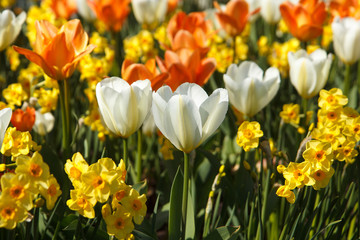 colored tulips and daffodils in the flower bed