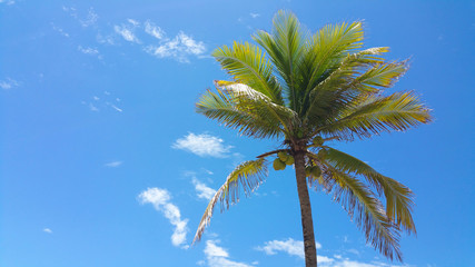 Coconut tree with blue sky in background