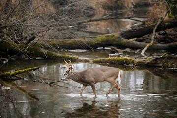 Poster Deer White-tailed Deer