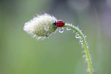 Small Red Ladybug likes the smell of red poppies