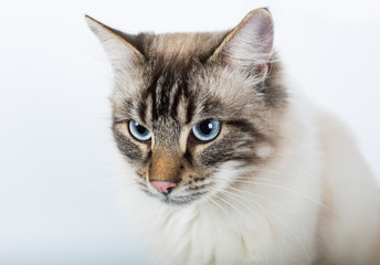 beautiful cat close up on a white background.