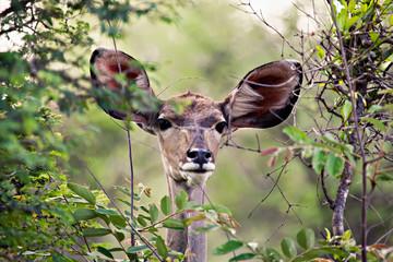 Kudu female antelope