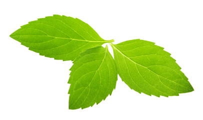 mint leaves isolated without shadow