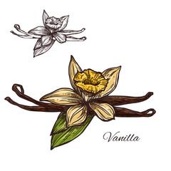 Vanilla flower spice herb vector sketch plant icon