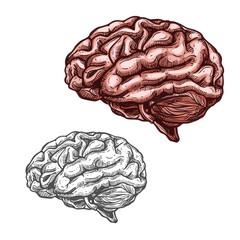 Human organ brain vector sketch icon