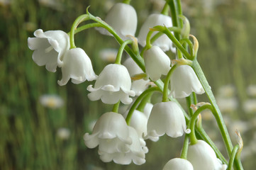 Deurstickers Lelietje van dalen Closeup of Lily of the Valley