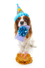 Happy birthday dog photo. Cavalier king charles spaniel puppy dog celebrate 3. birthday. Three years old puppy with birthday cake and gift. Dog holding gift on white background.