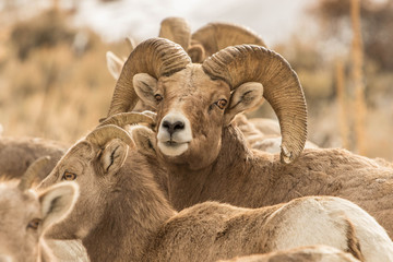 A Herd of Bighorn Sheep Near Patterson, Idaho.