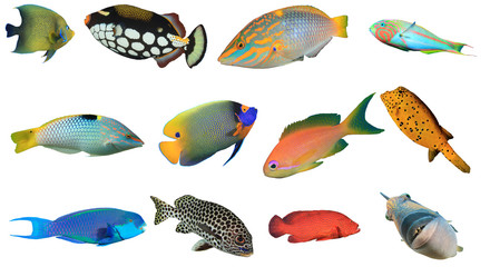 Deurstickers Onder water Reef fish of Indian and Pacific Oceans and Red Sea. Tropical fish isolated on white background