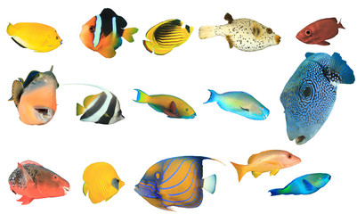 Wall Mural - Reef fish of Indian and Pacific Oceans and Red Sea. Tropical fish isolated on white background