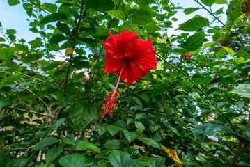 rote tropische Blume