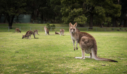 Kangaroos, native Australian Wildlife animals