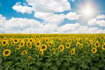 Sunflowers field landscape