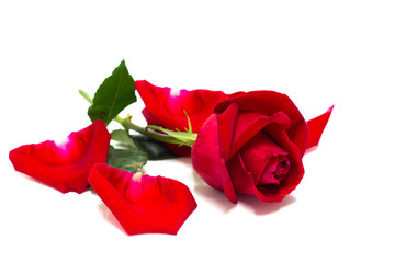 Beautiful red rose flowers for valentine day isolated on white background