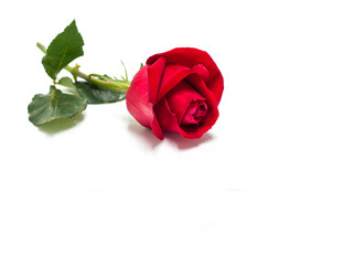Beautiful red rose flowers for valentine day isolated on white background copy space for text