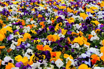 Poster Pansies Multicolor pansy flowers or pansies as background or card. Field of colorful pansies with white yellow and violet pansy flowers. Mixed pansies on flowerbed in perspective with detail of pansy flowers