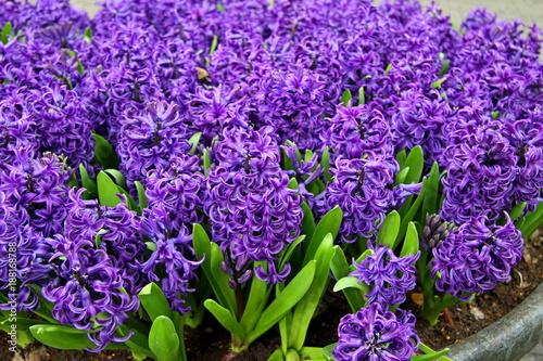 Grape Hyacinth Muscari Armeniacum Flowering In Early Spring Macro