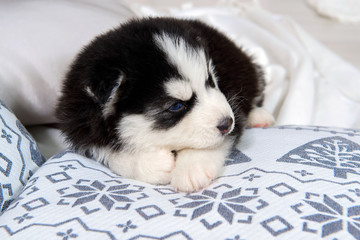 Tiny Husky puppy on the pillows. Great kid dogs. Northern Husky at a tender age.