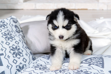 Infant puppy Husky sitting on the pillows. Great kid dogs. Northern sled Laika at a tender age.