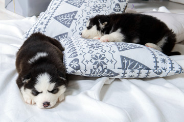 Infant Husky puppies sleeping. Great kid dogs. Northern sled Laika at a tender age.