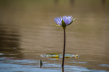 Light purple / lilac water lily with silhouette growing in pond, single flower in water.